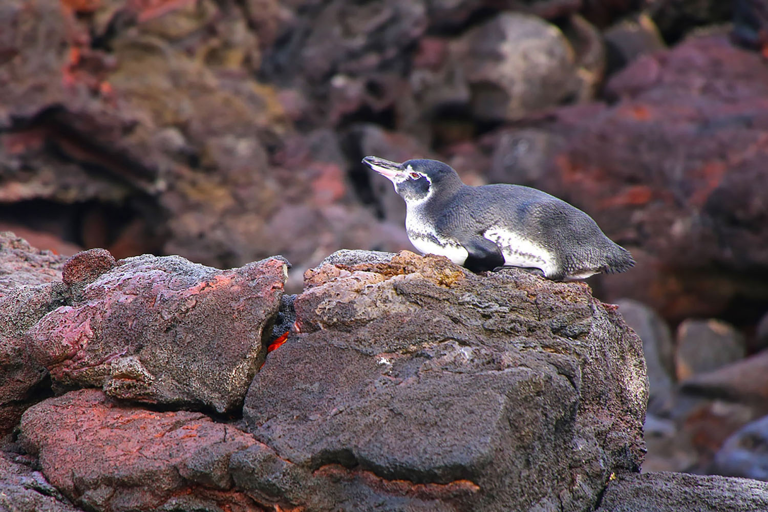 Penguins in the Galapagos Islands.