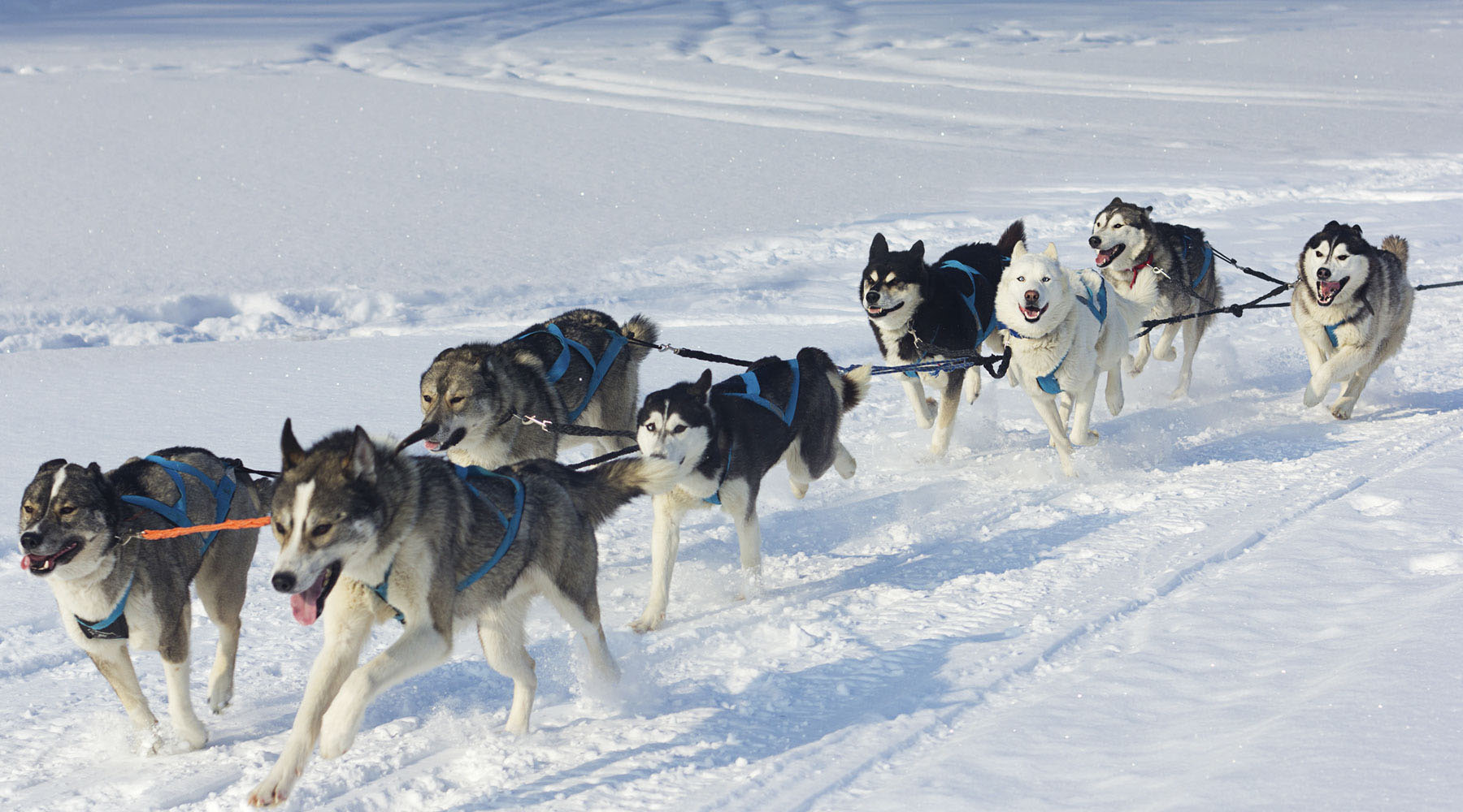 A pack of husky dogs racing across the snow in Alaska.