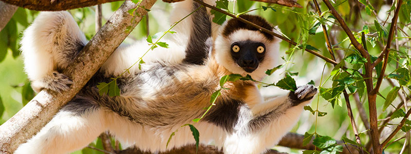A lemur in a tree at the Andohahela National Park in Fort Dauphin, Madagascar