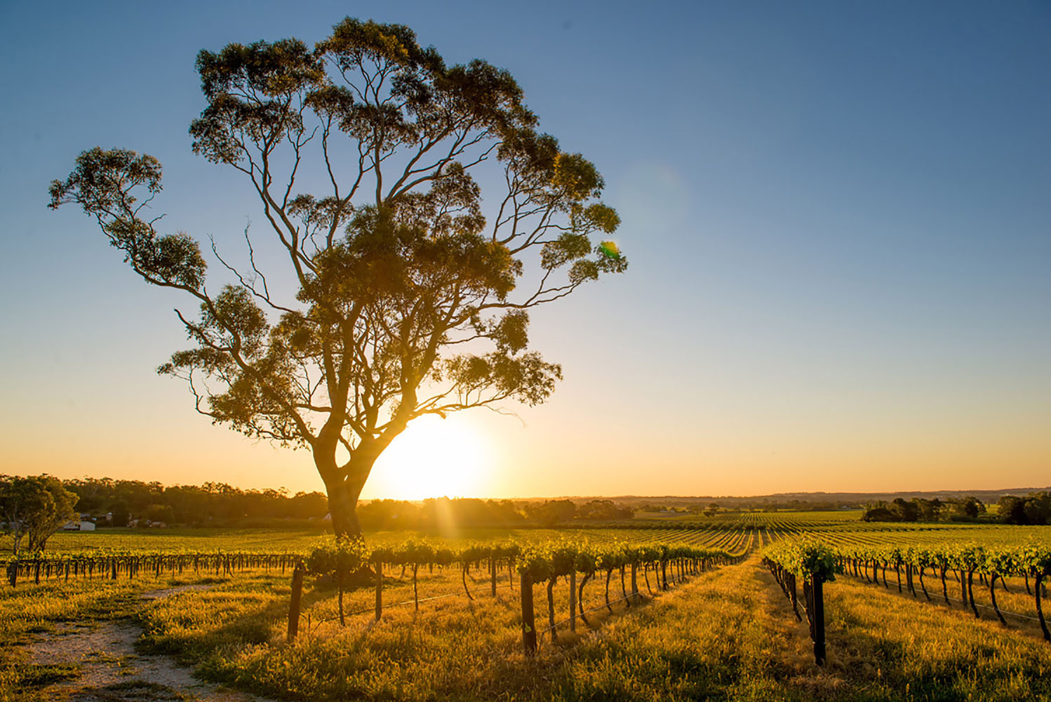 A vineyard in Australia at sunset.