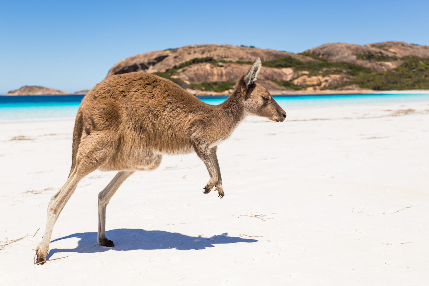 A kangaroo on a beach in Australia.