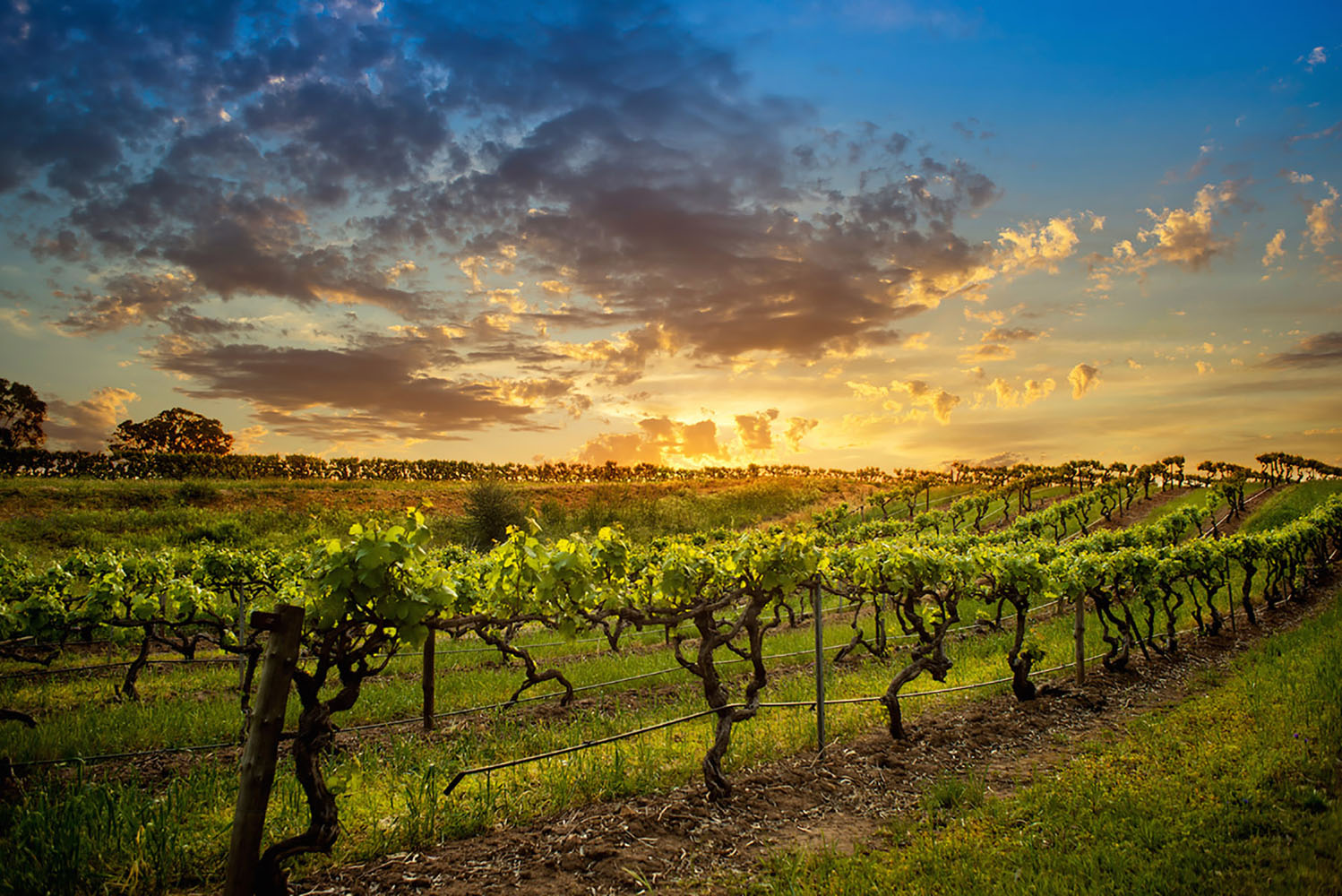 Sunset in an Australian vineyard.
