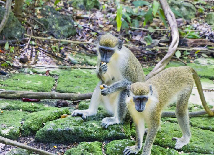 4 X 4 Adventure and Green Monkey Encounter