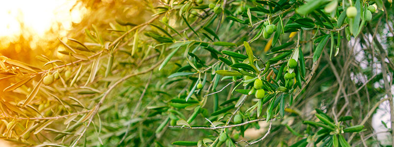 Close up of an olive tree at the Benakopoulos Olive Mill in Kalamata, Greece