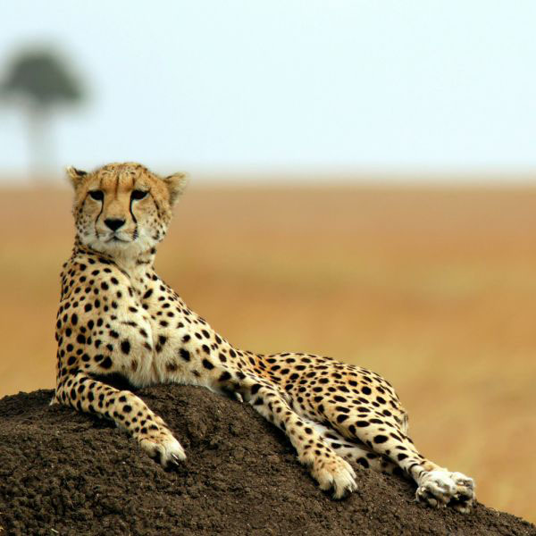 A cheetah sits on a rock in Kenya.