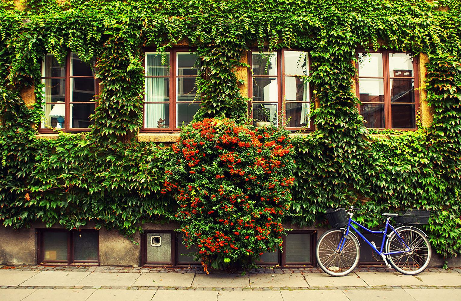 A bicycle leaning against a wall of ivy in Copenhagen, Denmark.