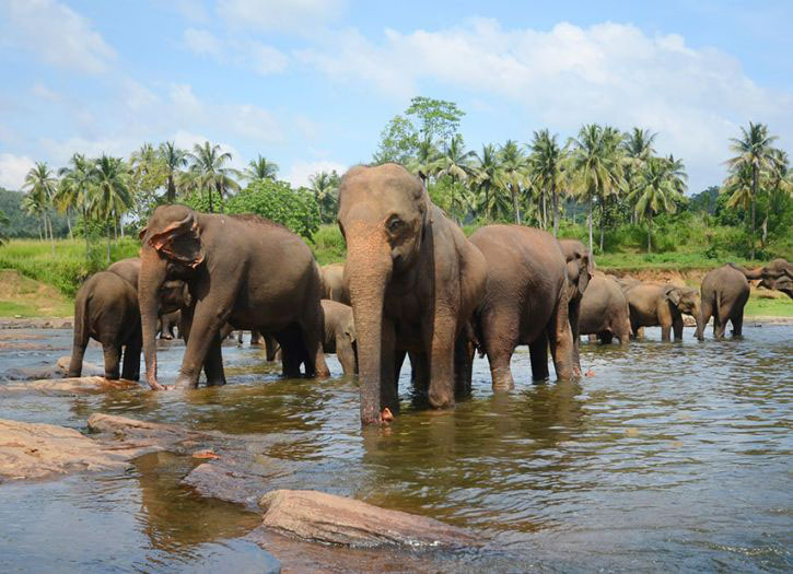 Elephants of Pinnawala