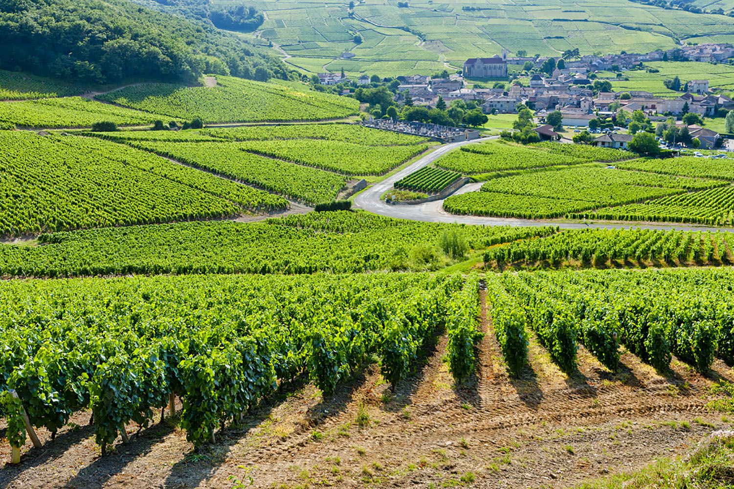 A lush, green vineyard in France.