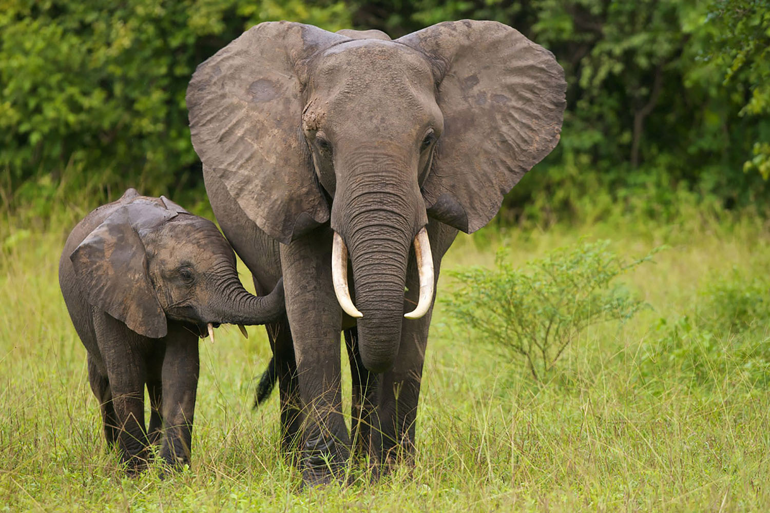 A mother elephant walking with her calf in the grass