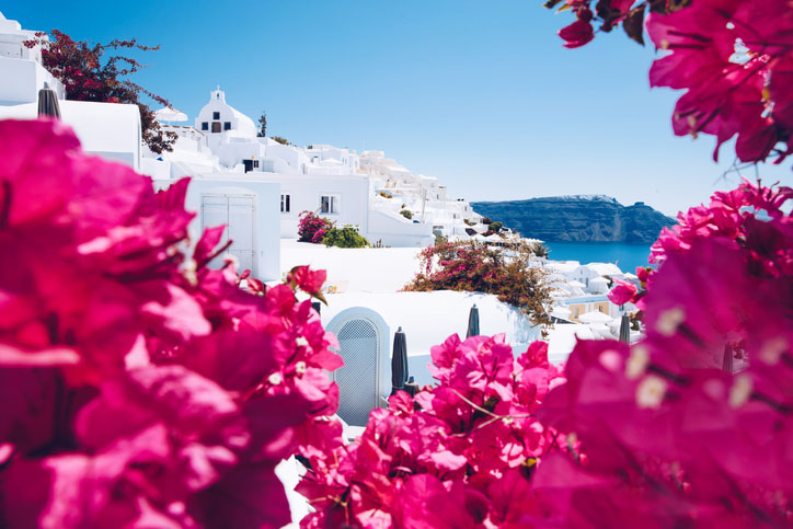 sun bleached buildings in Santorini with pink flowers in the foreground