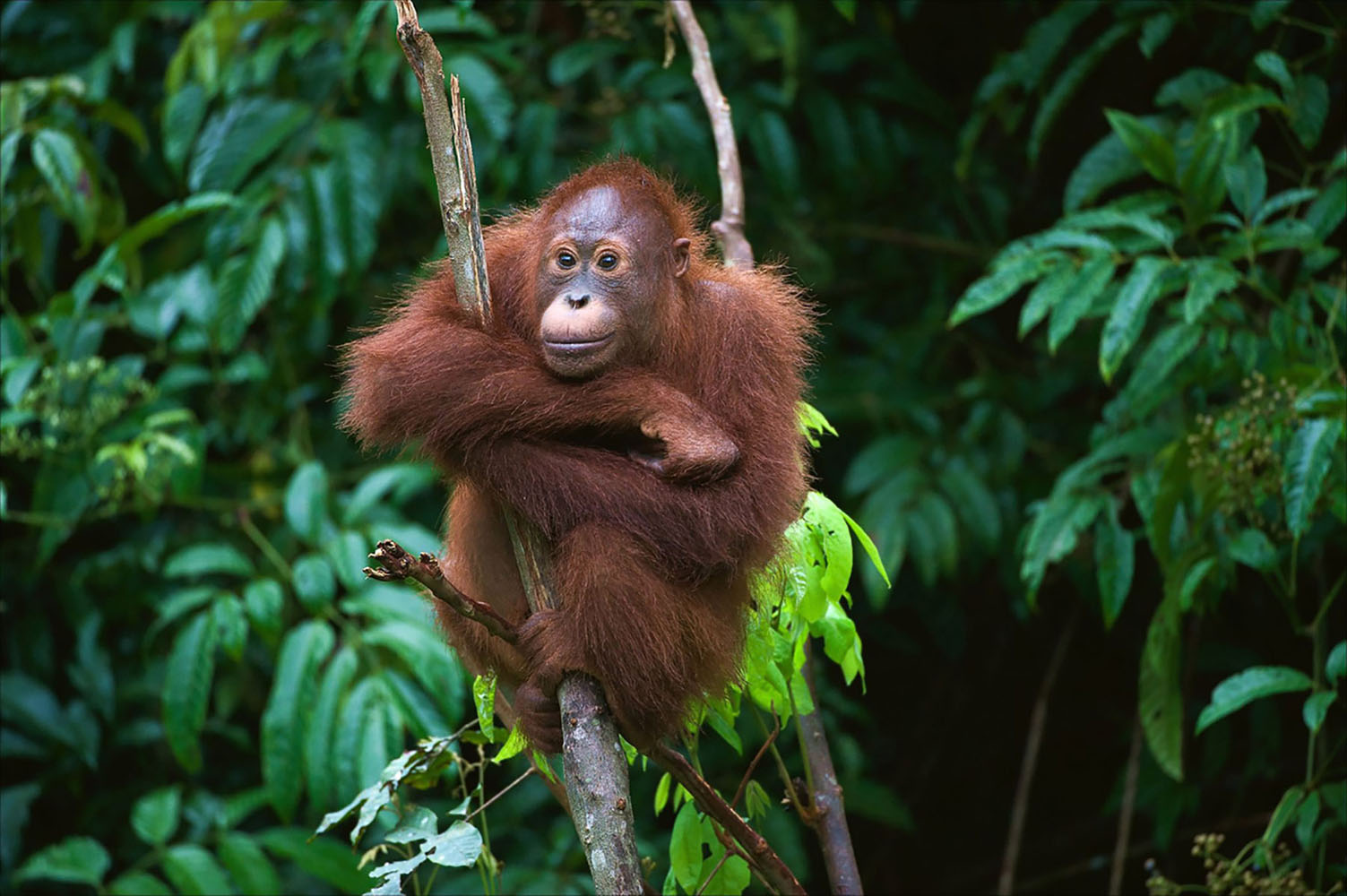 Young Orangutan sitting on the tree