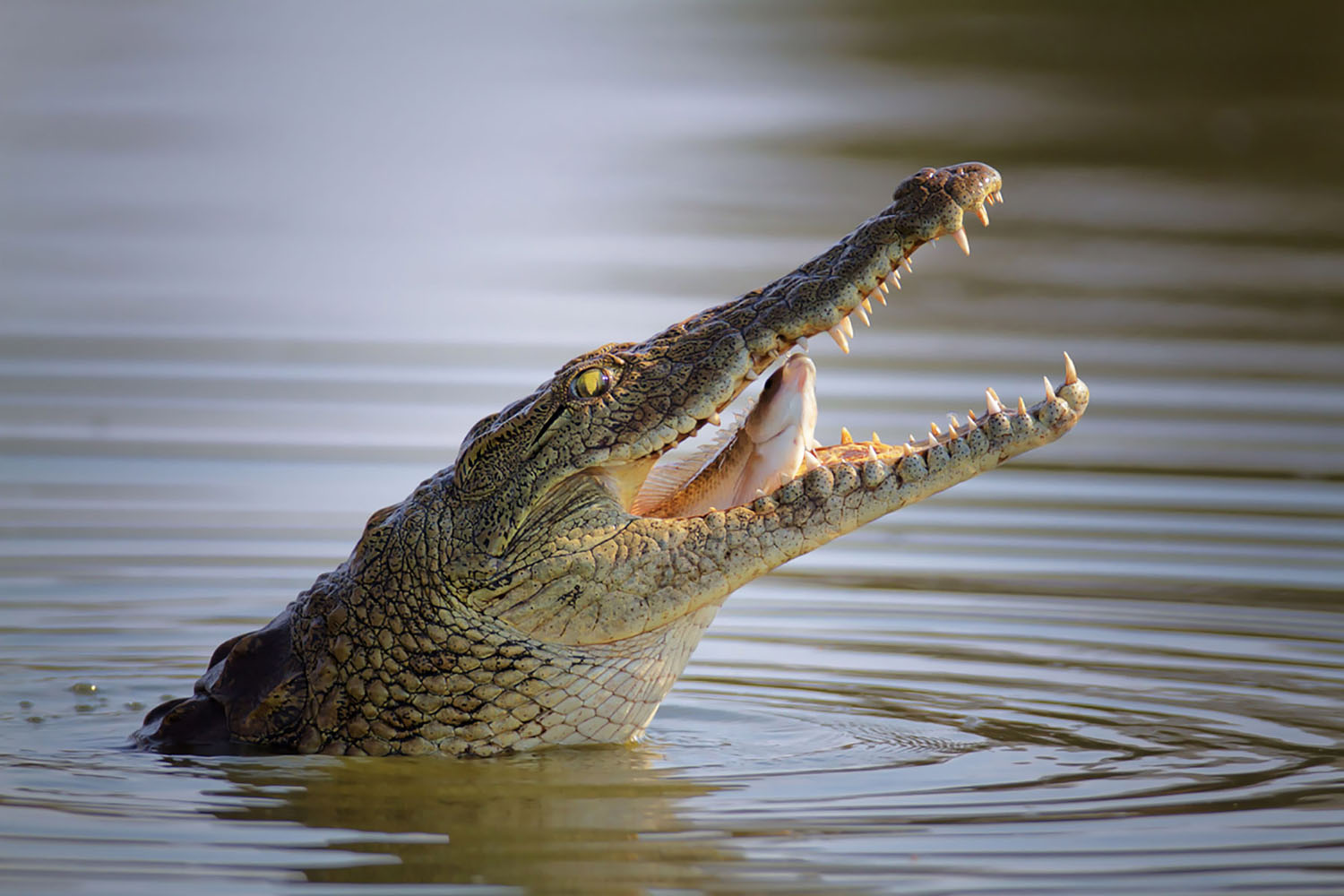 A Nile Crocodile in Africa with his mouth open, eating a fish.
