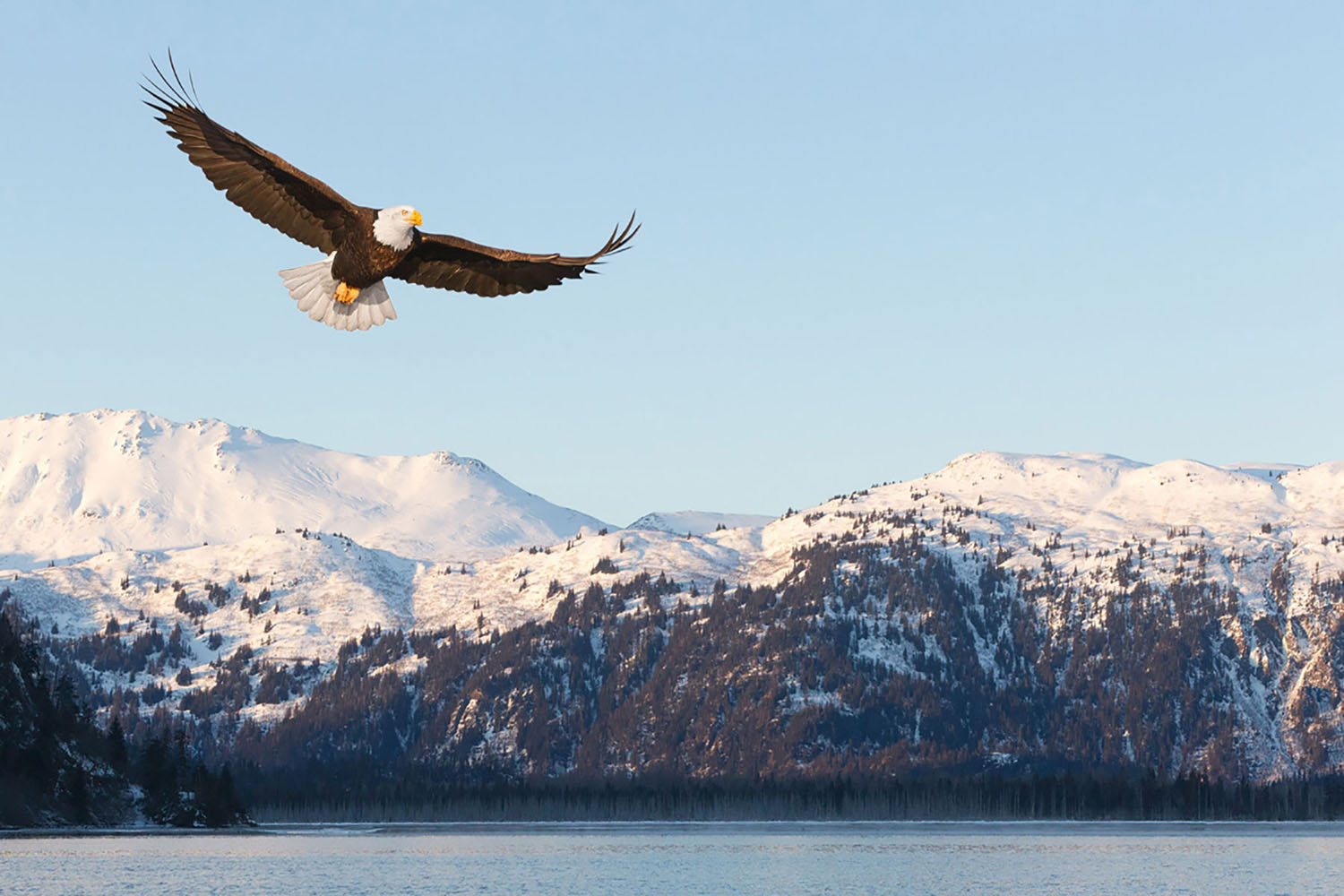 An eagle soars past snowcapped mountains in Alaska.