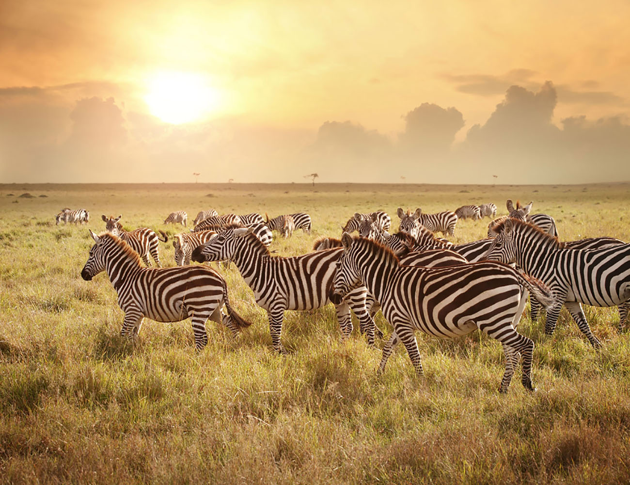 A group of zebras in the Savanna at sunrise.