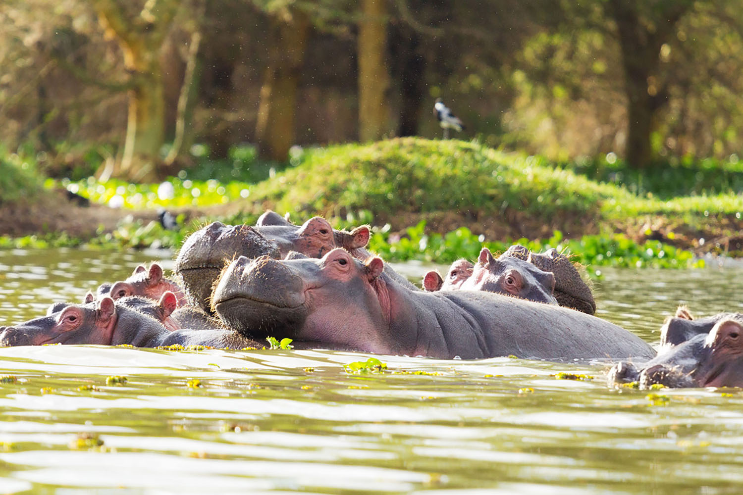 A group of hippos in a lake.