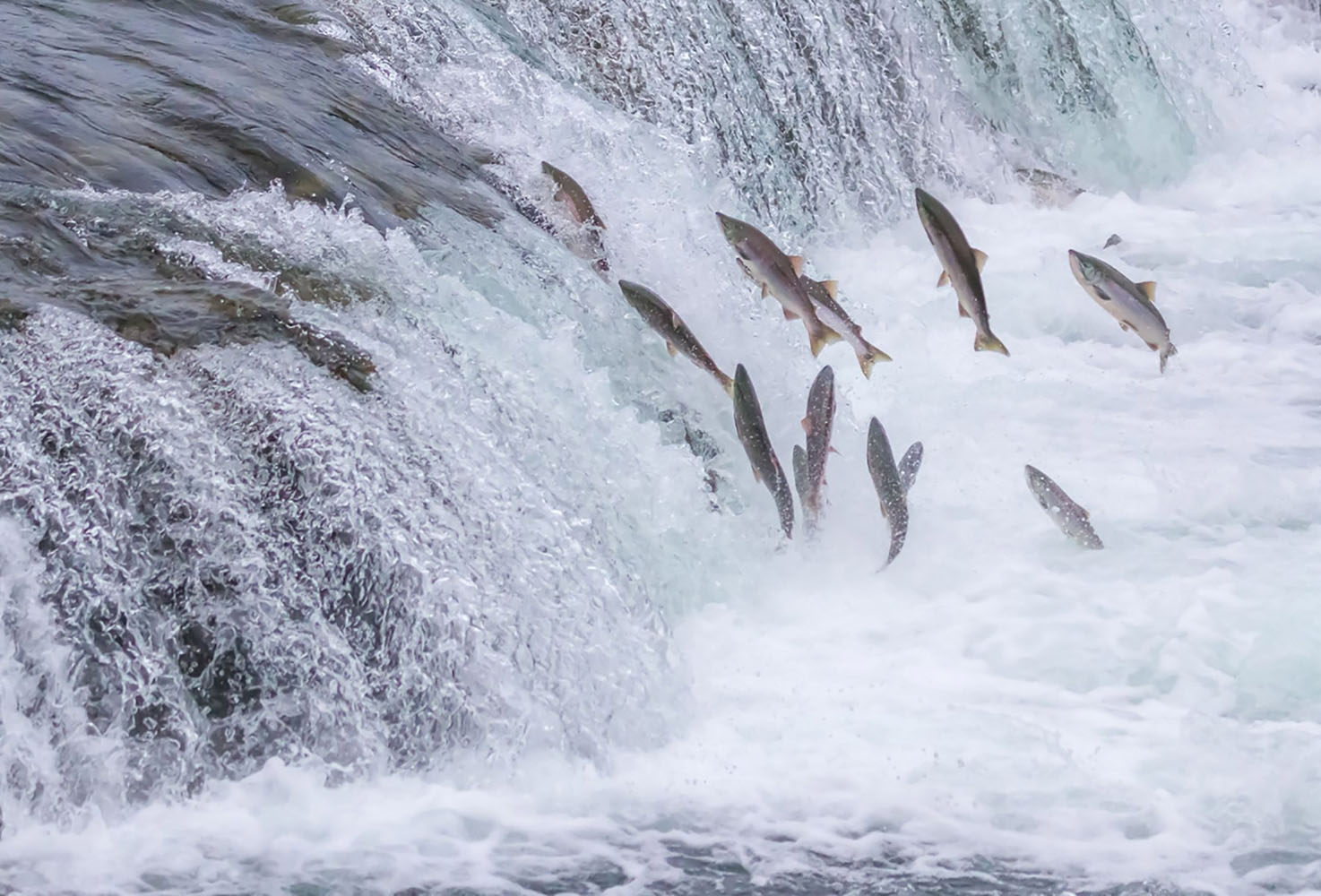 Salmon Jumping Up the falls in Alaska