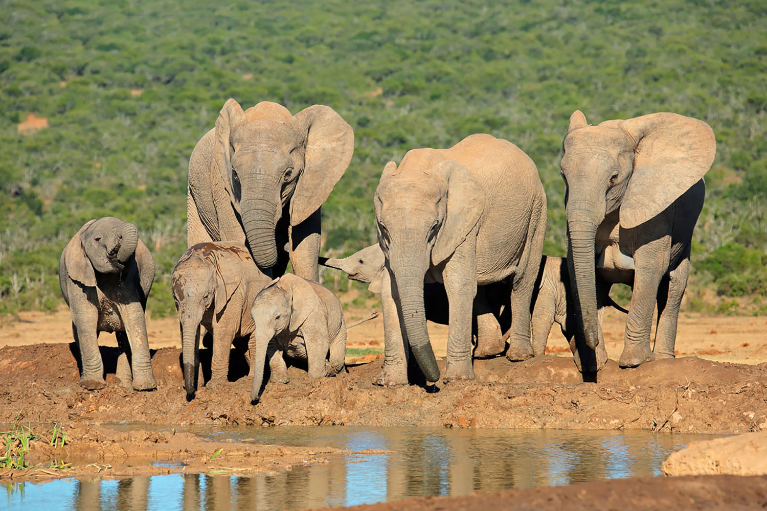 A family of elephants at Addo Elephant Park near Port Elizabeth, South Africa.