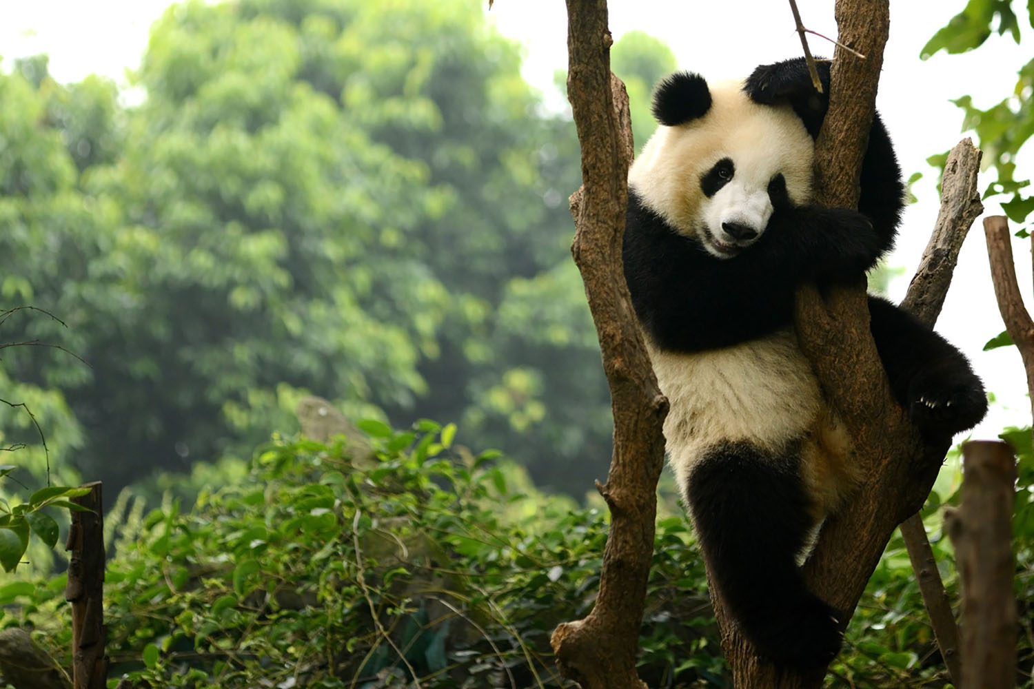 Giant panda bear playing on a tree in Chengdu, China