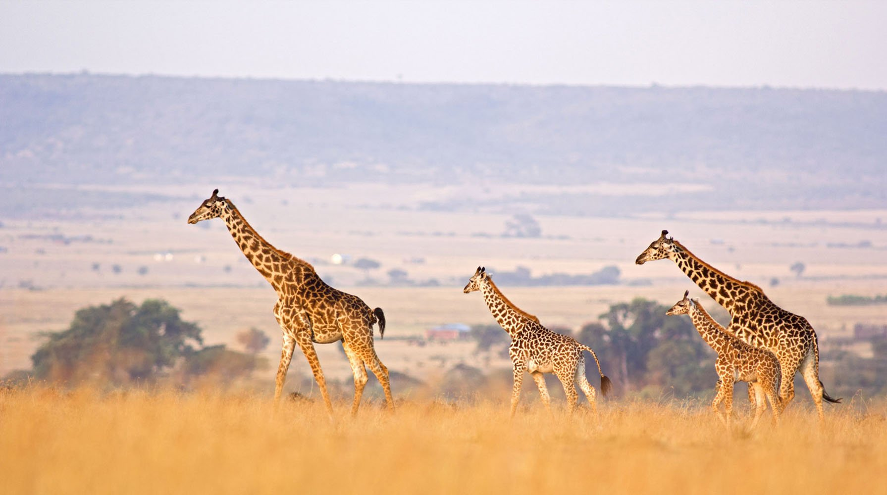 Two adult and two baby giraffes in the African Savanna.