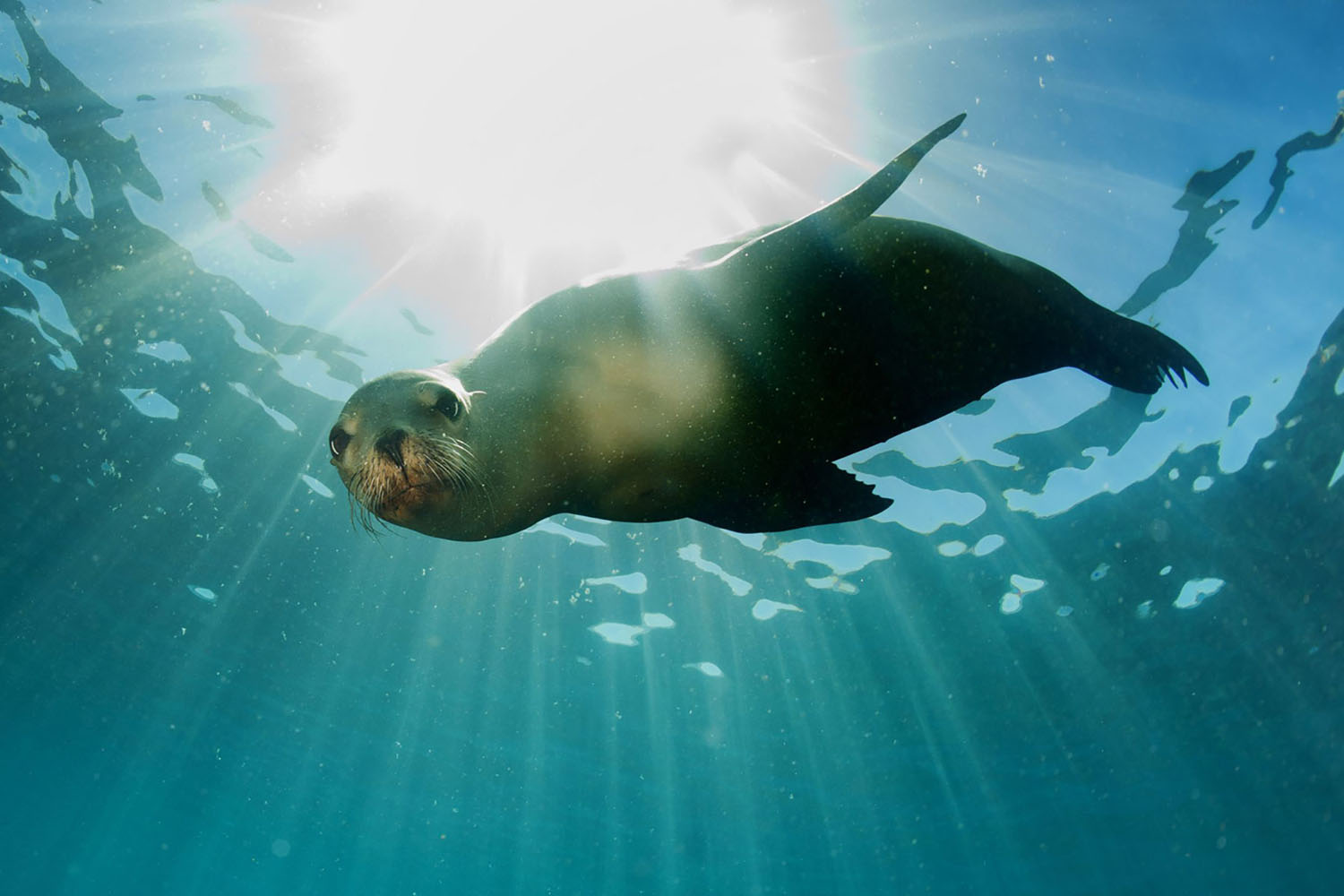 A sea lion swimming underwater