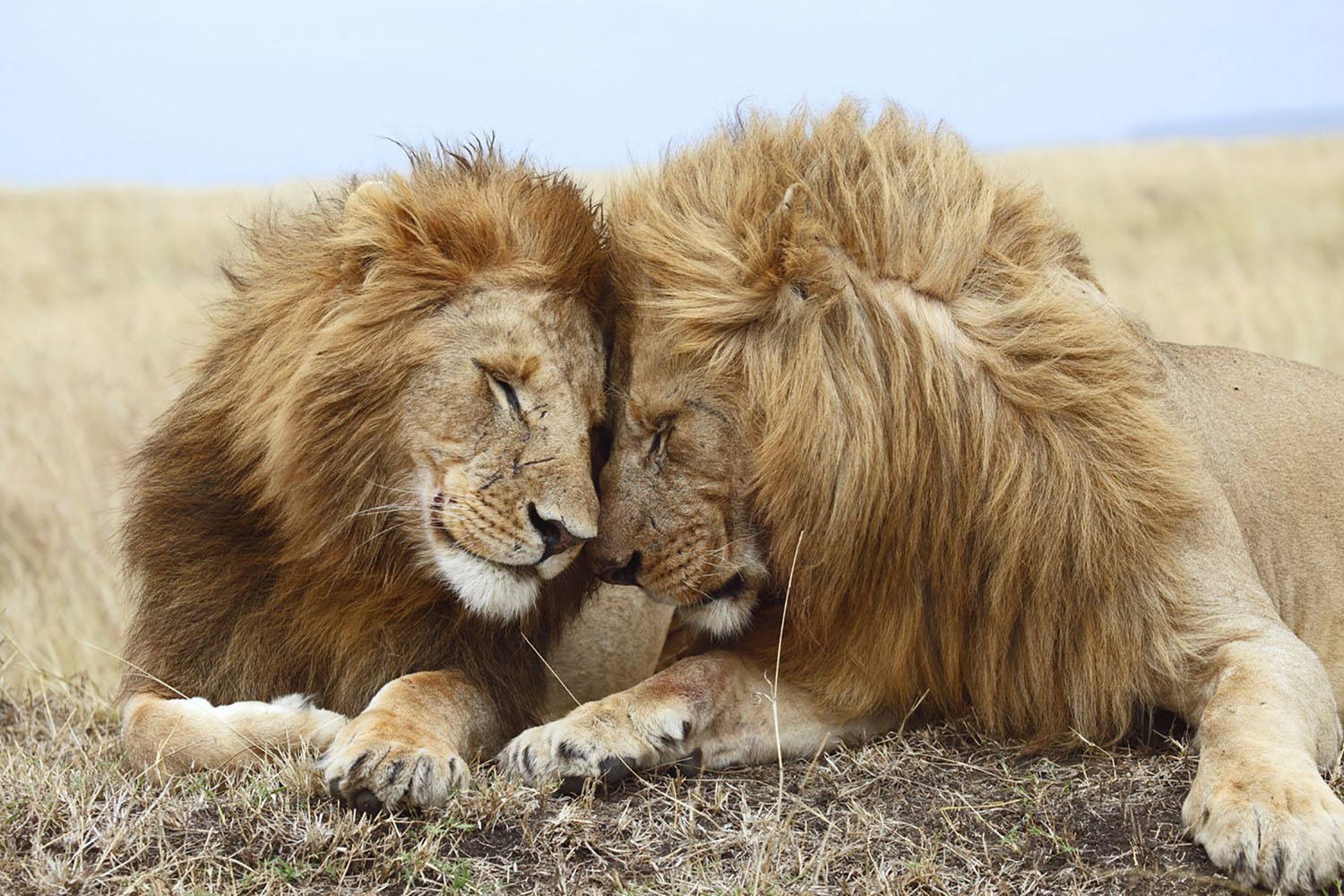 Two lions cuddle each other