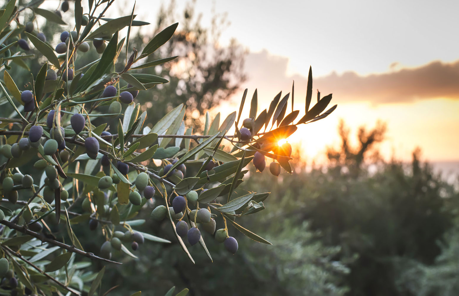 The sun shining through the branches of an olive tree at sunset.