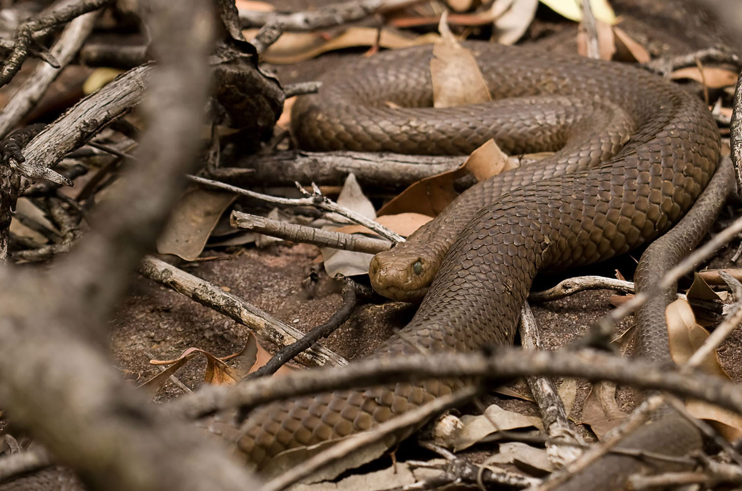 A large Eastern Brown Snake hiding in leaves