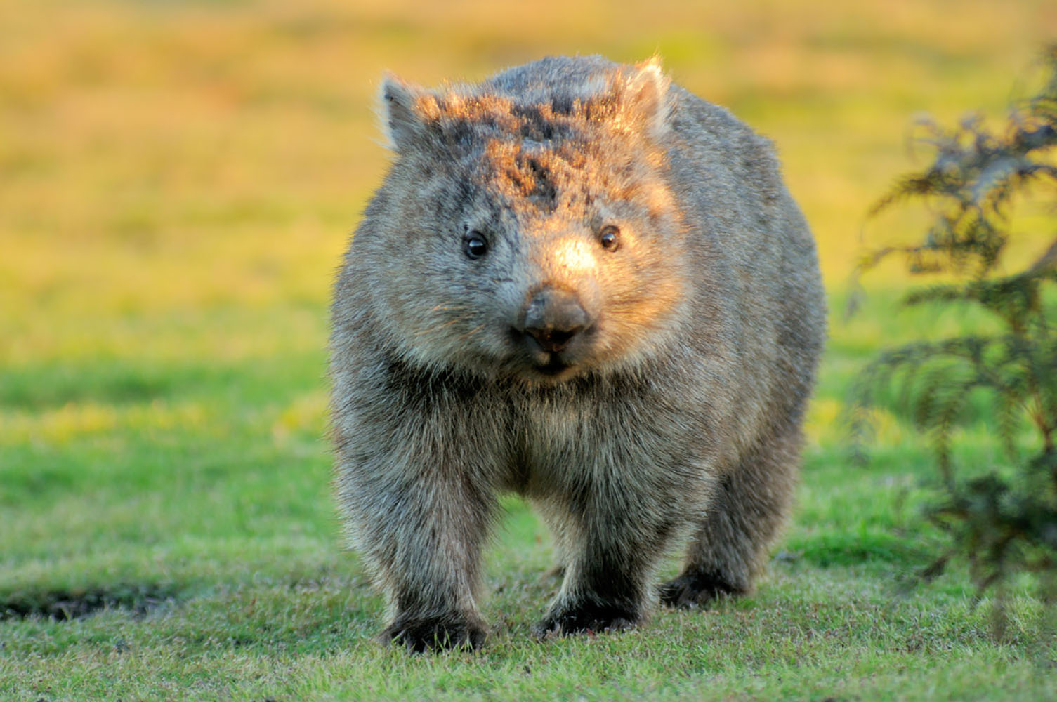 A Wombat forages for food at sunset