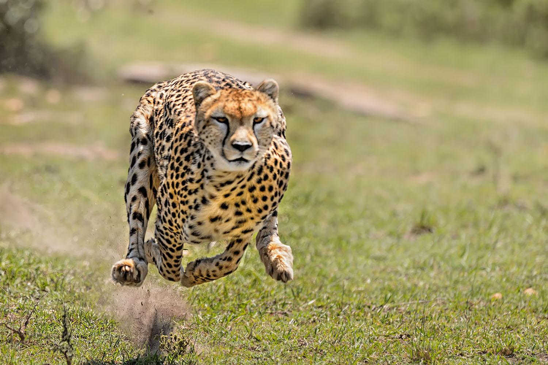 A Cheetah Caught In Mid Air As It Runs Through The