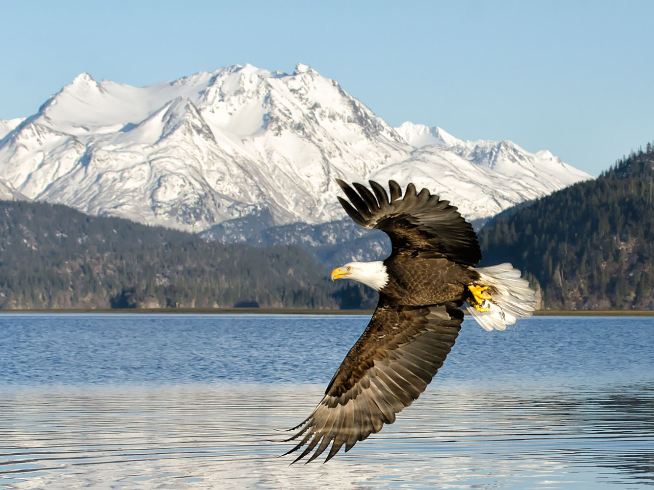 A Bald Eagle flying with the backdrop of one of Alaska's glaciers