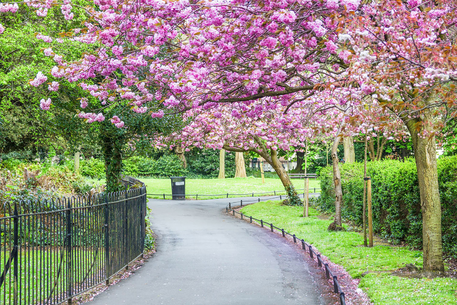 Saint Stephen's Green in Dublin with a pink flowering tree in bloom.