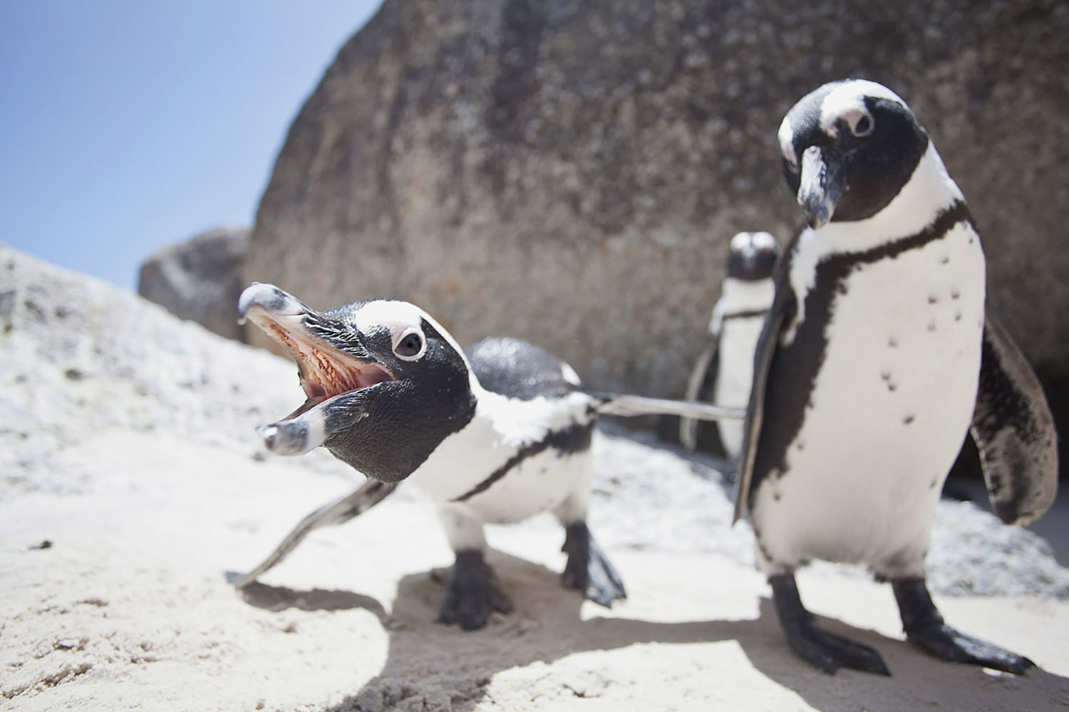 Penguins on Boulders Beach near Cape Town, South Africa