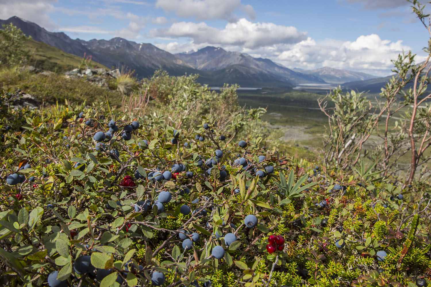 Wild organic blueberries in sunny forest, Alaska