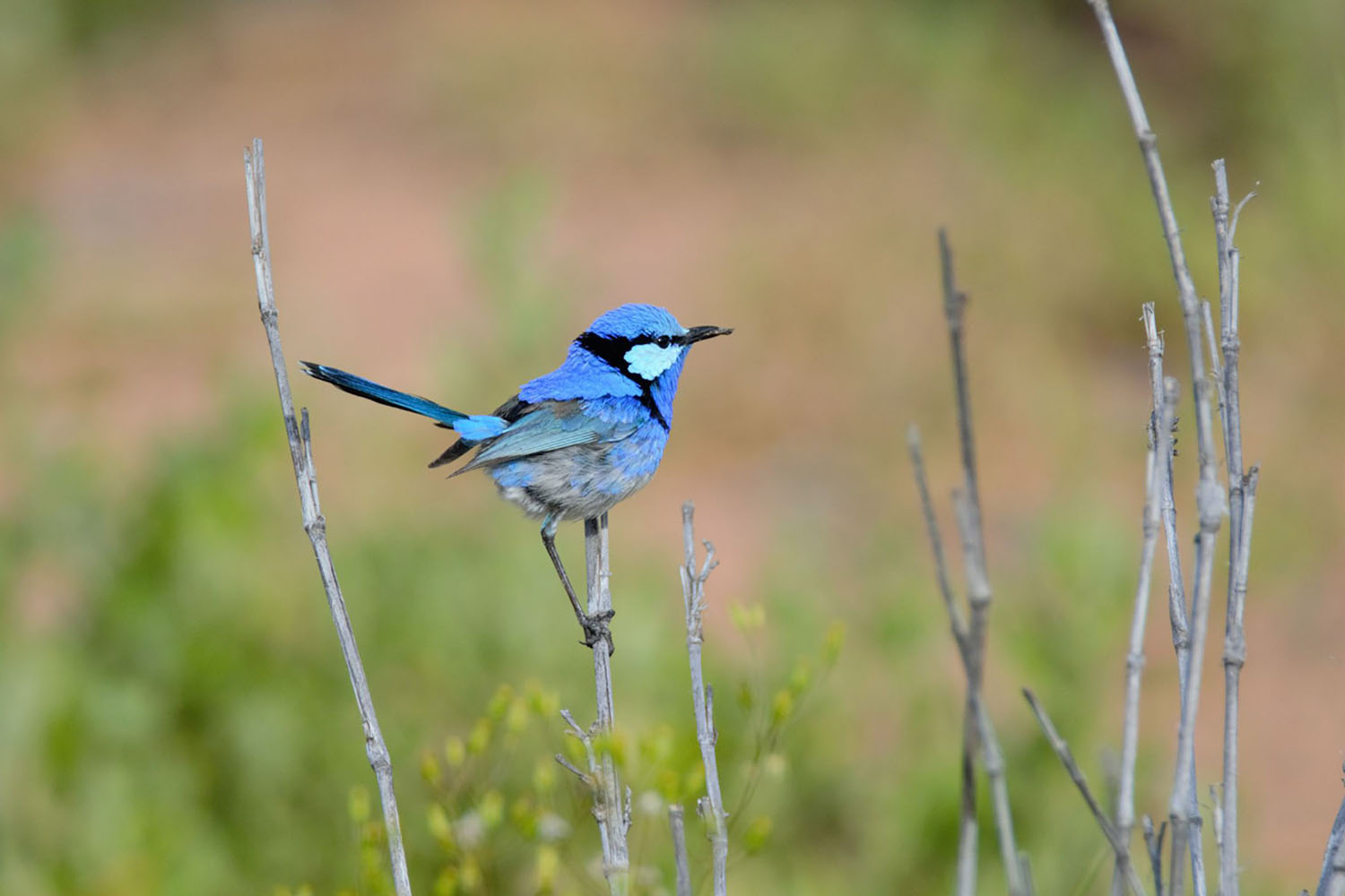 Splendid fairy-wren swooping in to feed on insects