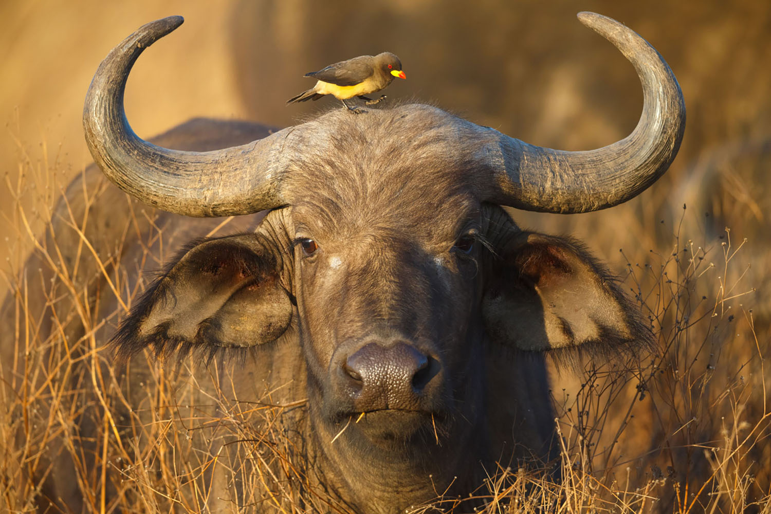 A Cape Buffalo with a small yellow bird, a Yellow Billed Oxpecker, perched on its head.