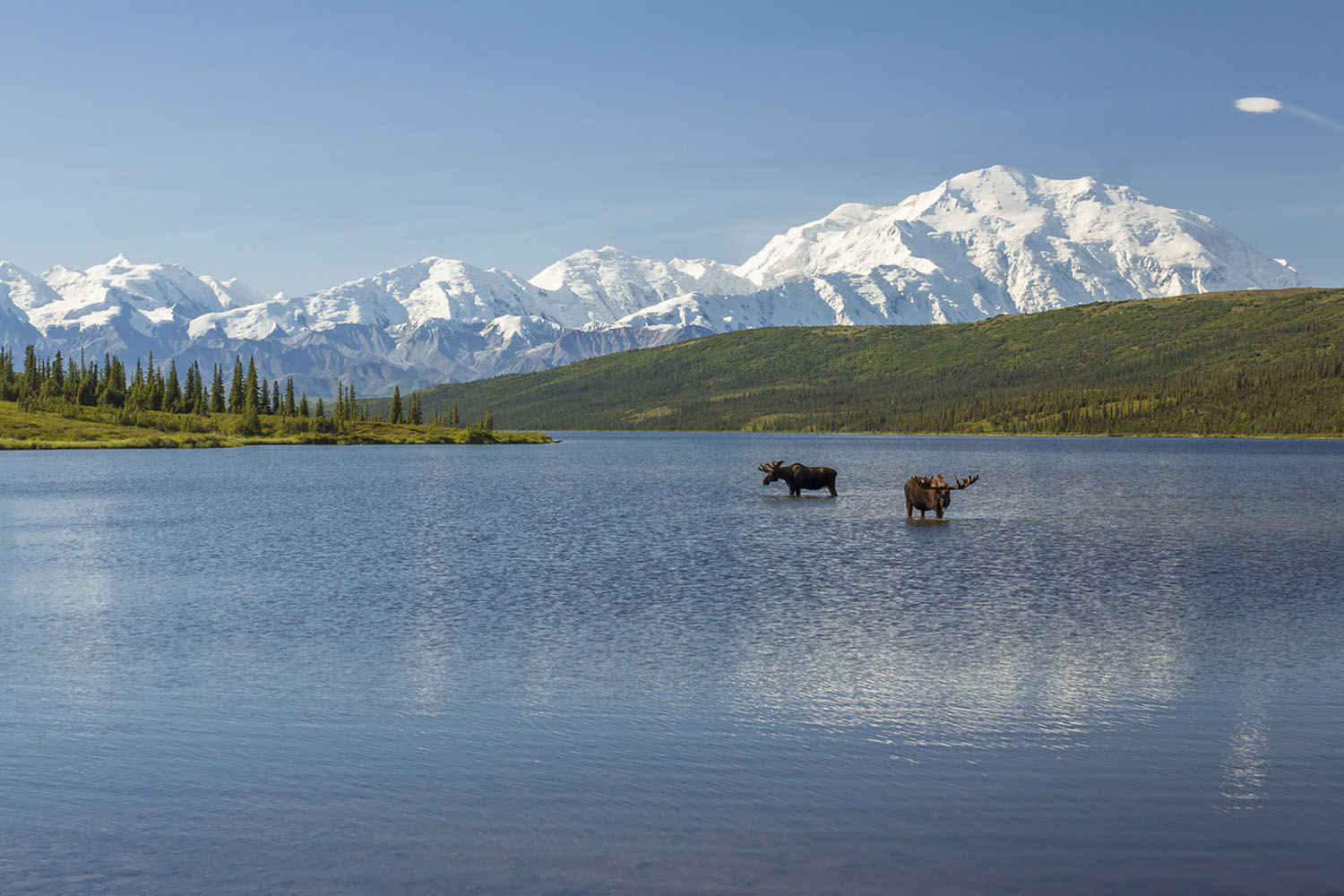 Two moose drink from a lake in Denali National Park in Alaska. Snowcapped mountains are in the background.