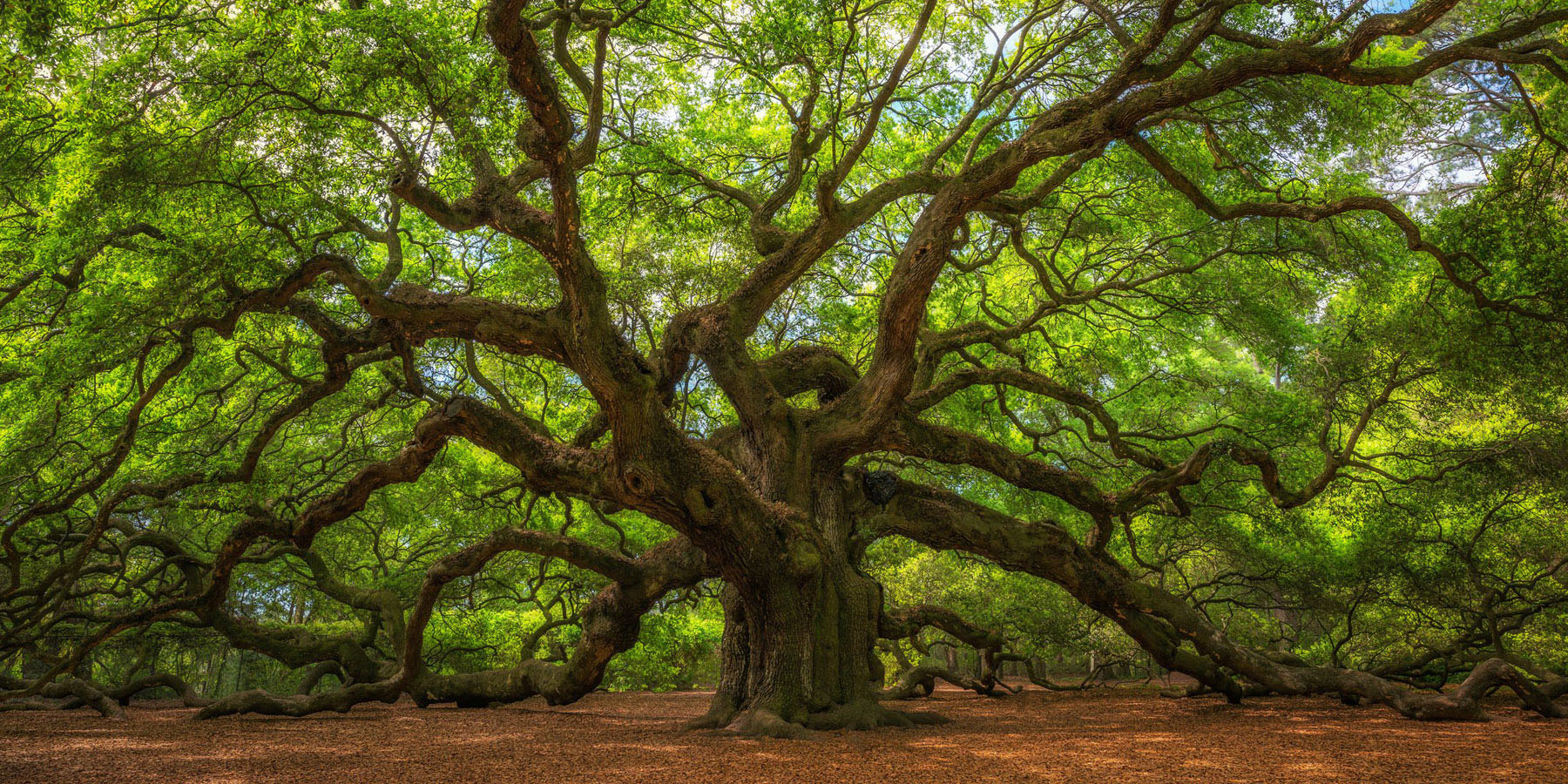 The historic Angel Oak Tree near Charleston, South Carolina