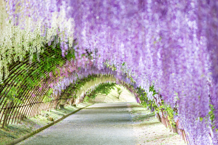 Wisteria Tunnel at Kawachi Fuji Garden