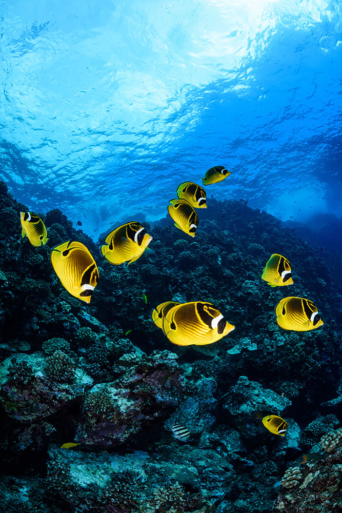 Bright yellow fish swim underwater near Maui's coral reefs