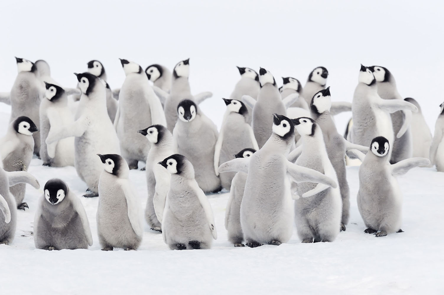 A group of baby Emperor Penguins in Antarctica.