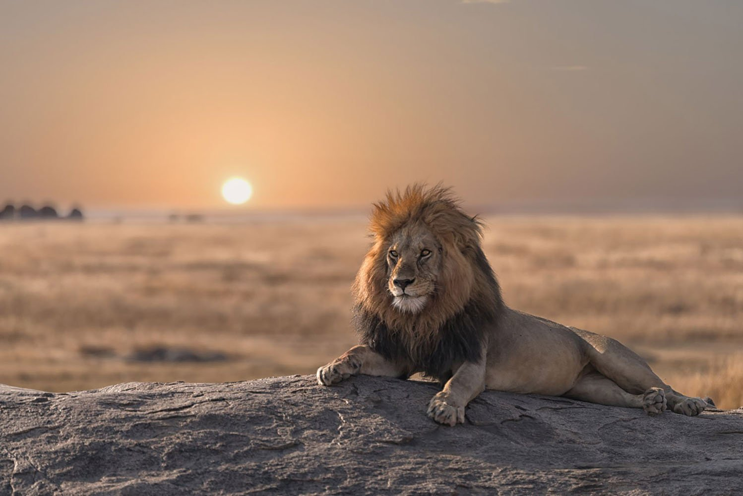 A male lion is sitting on the rock, watching his land