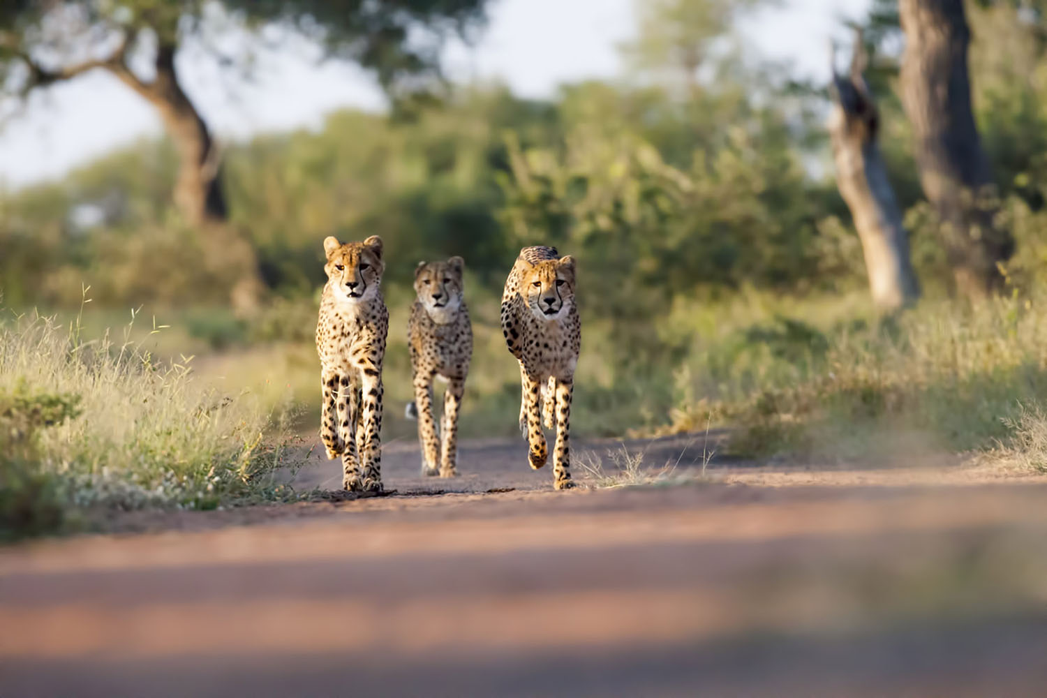 Three young Cheetahs in Kruger, South Africa