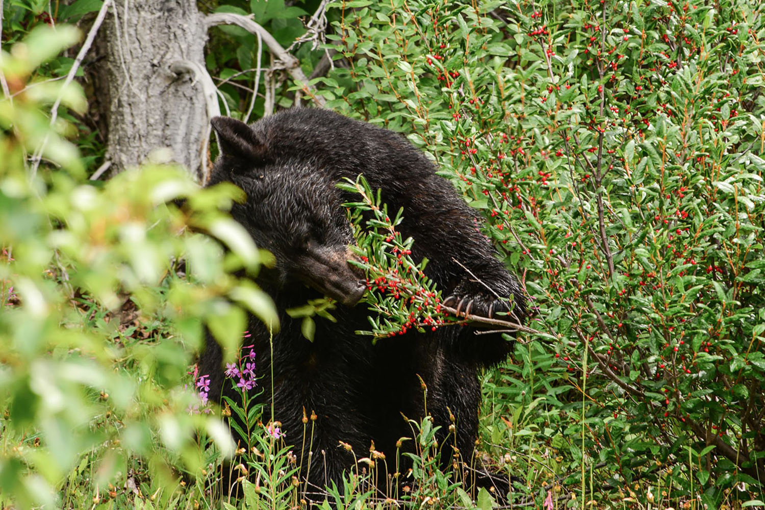 A bear eats berries in Alaska