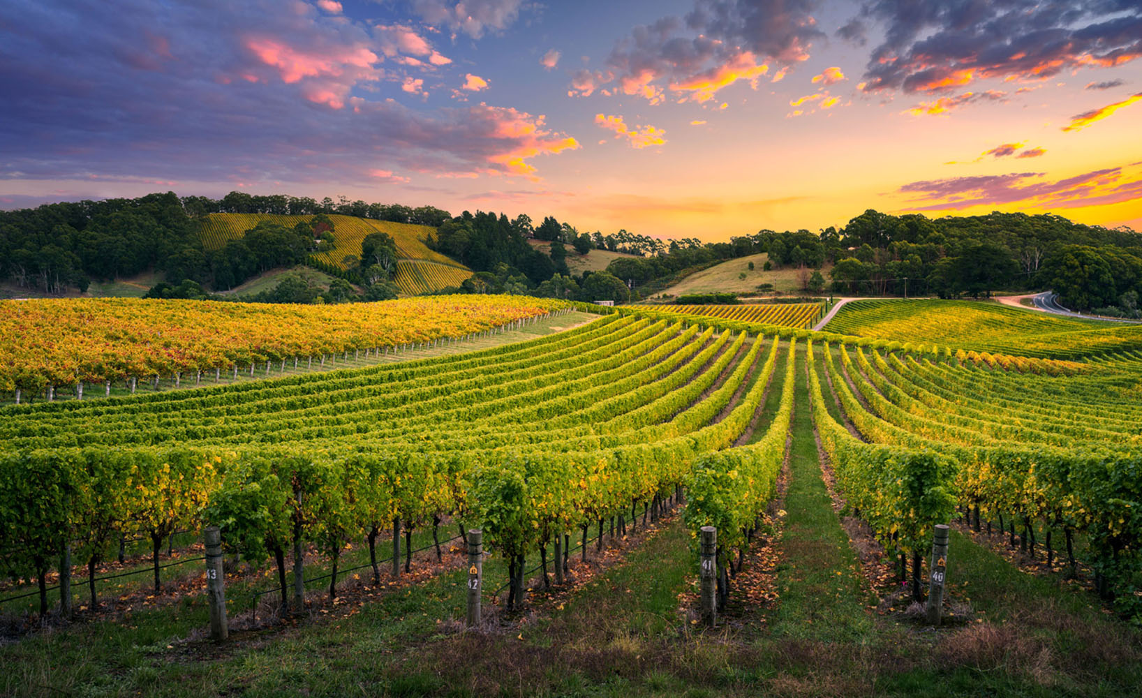 Vineyard at sunset in the Adelaide Hills of Australia