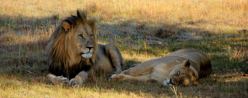 A photo Hekie took of lions while on safari in Africa