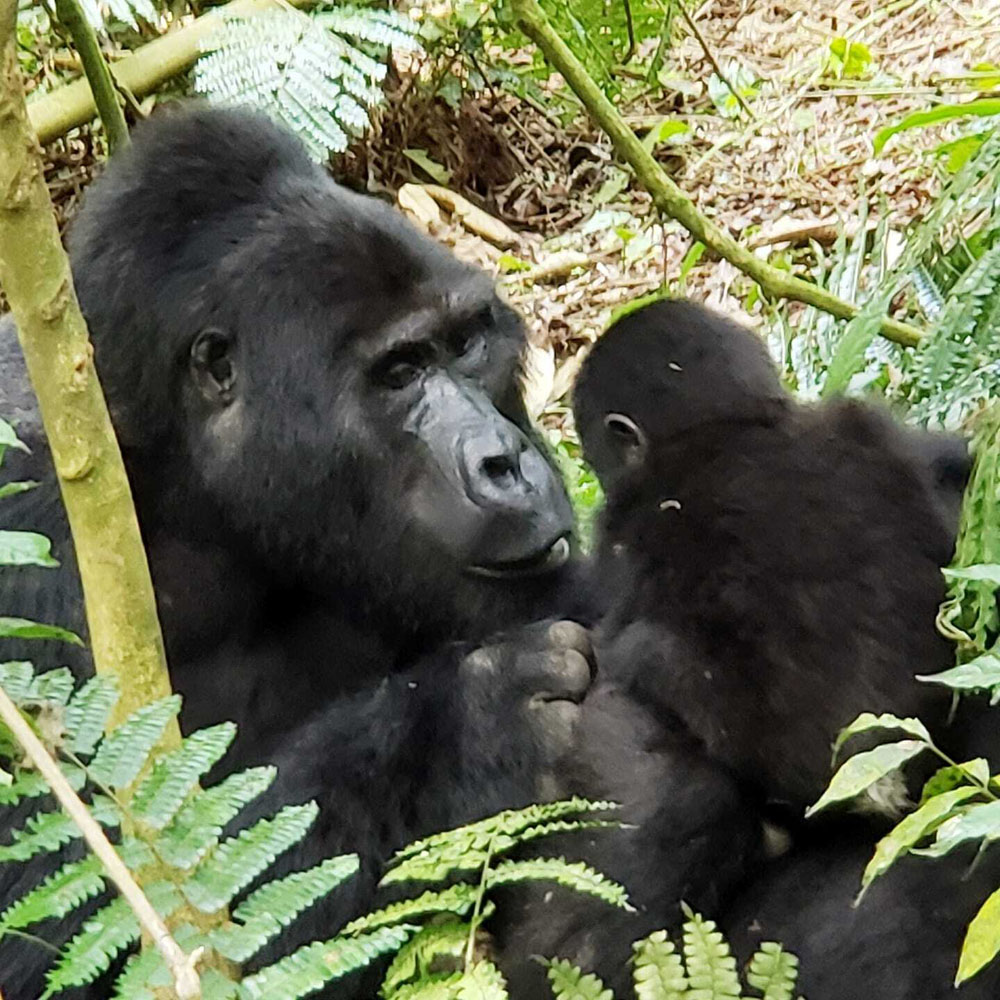 A photo Heike took of a gorilla and her child