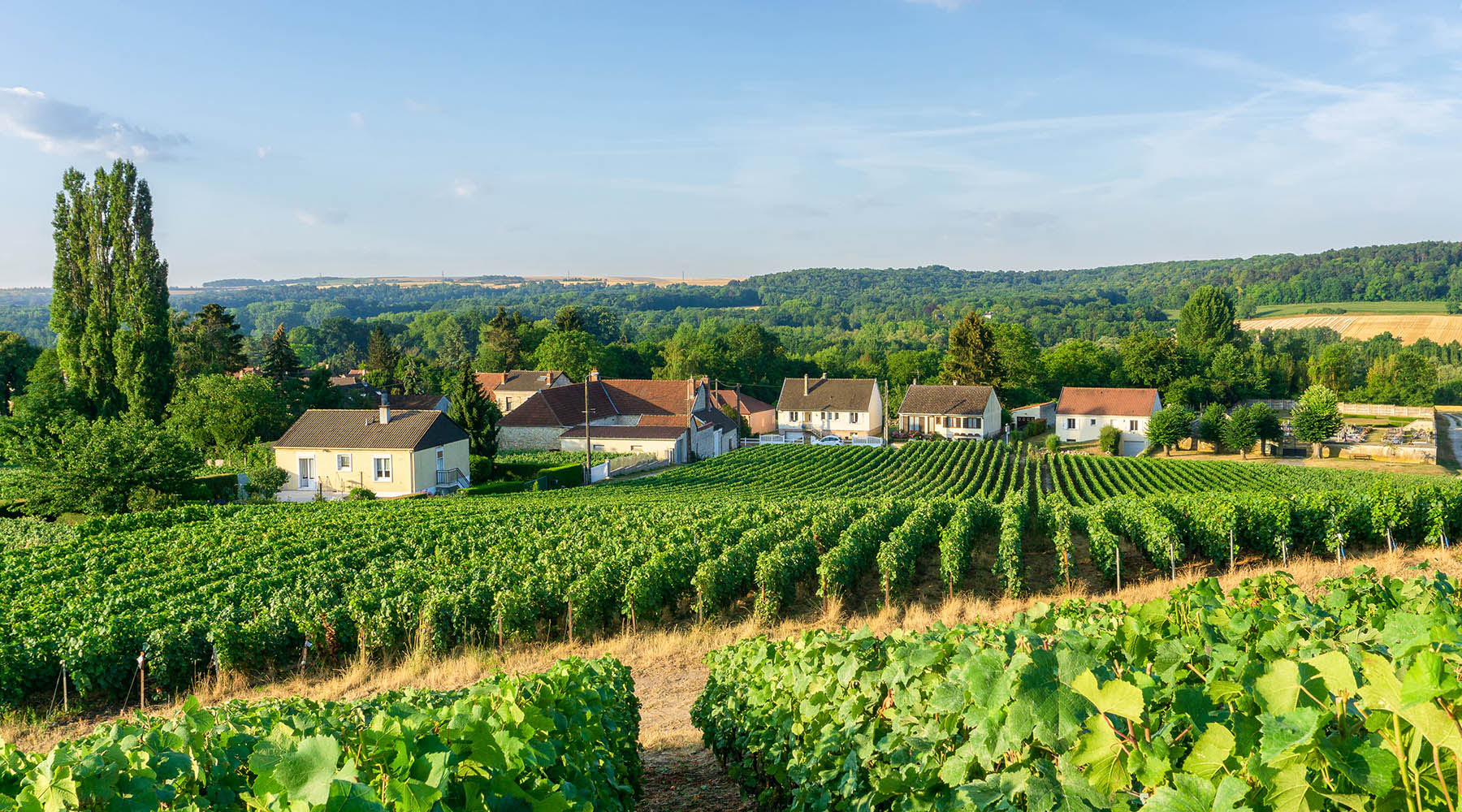 a vineyard with houses in the background