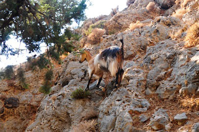 Samaria Gorge Inhabitant