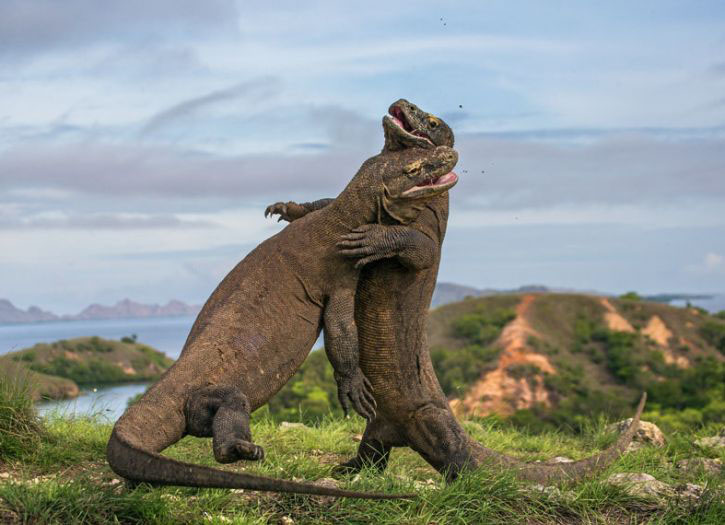 Komodo Dragon Adventure