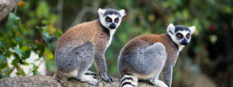 Two lemurs at the Nahampoana Nature Reserve in Fort Dauphin, Madagascar